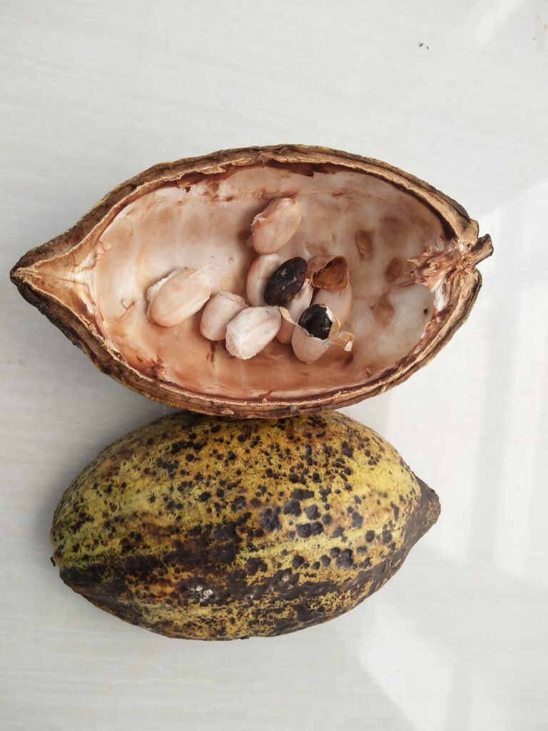 A cocoa pod has been cut open