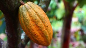 How do you cut cocoa pods